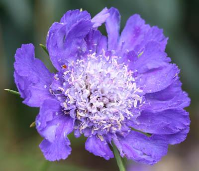 Scabious 'Fama Blue'